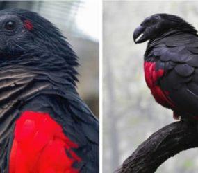 Estas aves son las más góticas de la tierra y se llaman loros de Drácula