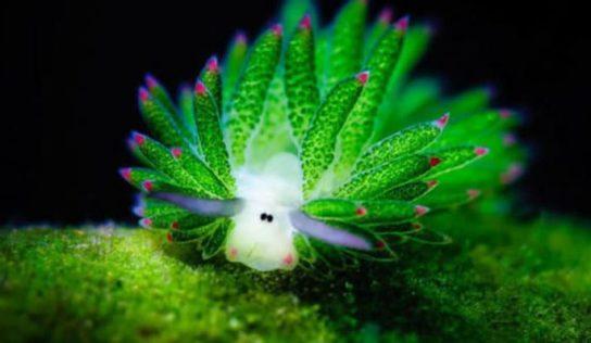 Esta babosa marina tiene cara de oveja y es sumamente adorable