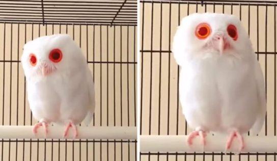 Éste búho albino tiene plumas completamente blancas y ojos rojos. Solo verlo es hipnótico