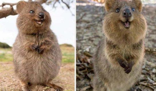 Los Quokka son considerados los animalitos más felices del mundo