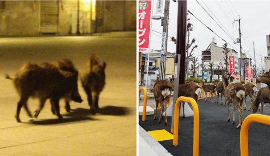 Animales recuperan sus espacios en la ciudad mientras estamos en cuarentena