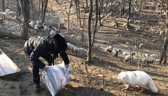 170 zorros son rescatados de una granja de pieles y ahora tienen un nuevo hogar en un monasterio budista