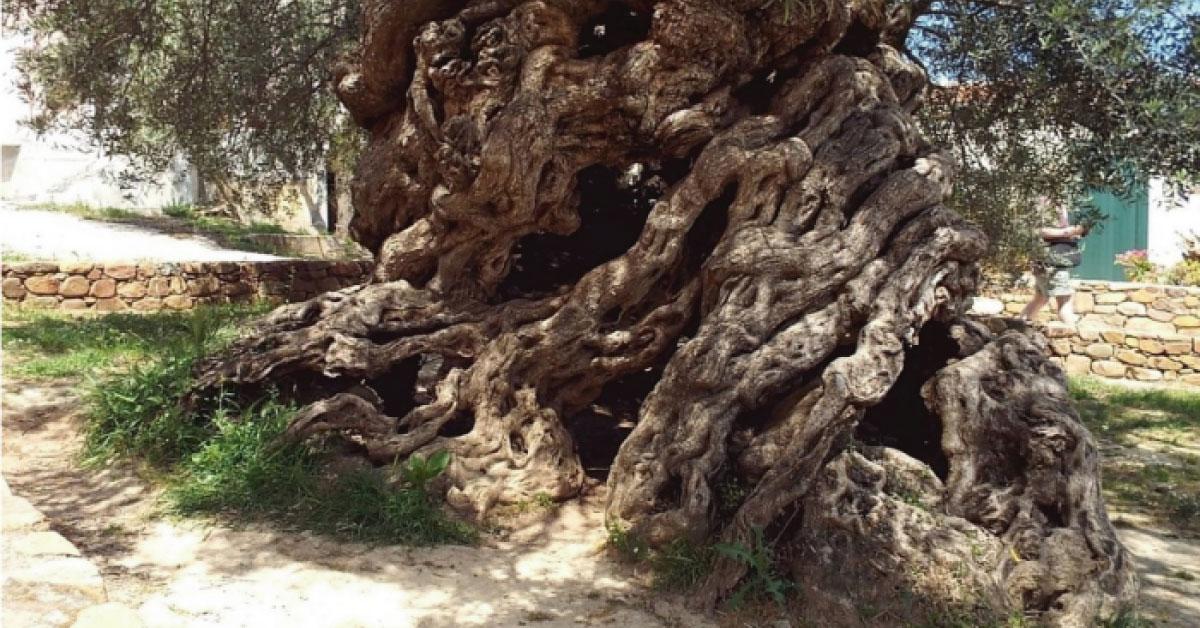 Este árbol de olivo tiene más de 3,000 años y todavía sigue dando aceitunas