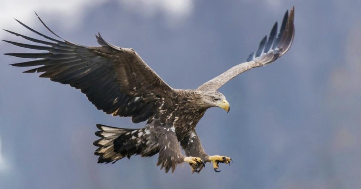 Después de 240 años aparecen águilas cola blanca volando en Inglaterra