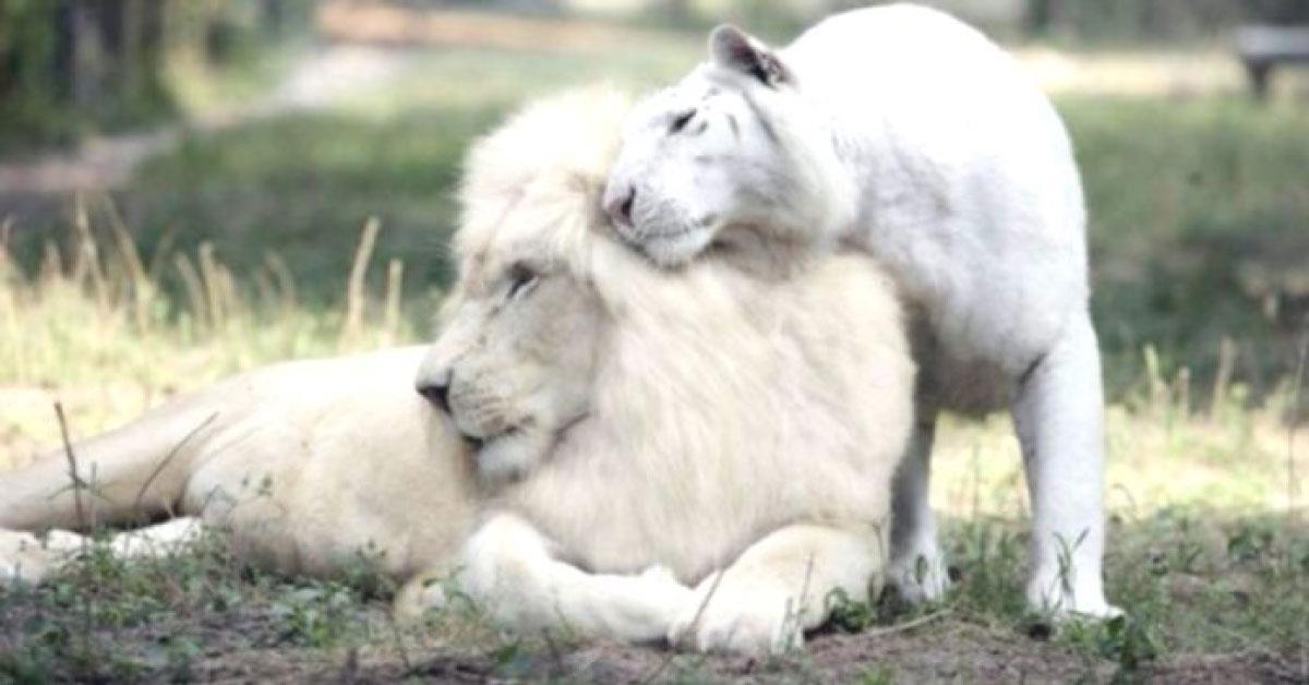León blanco y tigresa blanca tuvieron bebés y los cachorros son la única especie en el mundo