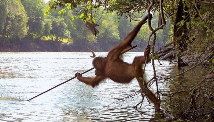 Orangután es captado usando una lanza para pescar. ¿Se viene el planeta de los simios?
