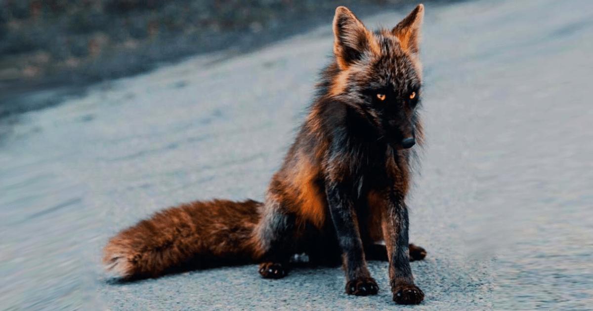 Con las personas en cuarentena siguen apareciendo más animales, captaron un zorro de fuego