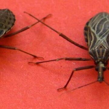 Si encuentras uno de estos insectos en tu casa, ve de inmediato al médico