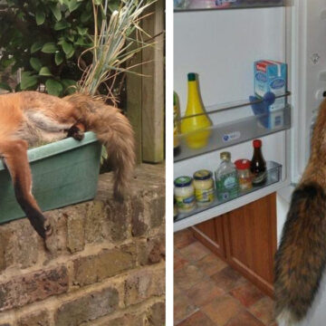 20 fotografías de zorros haciendo de las suyas en hogares