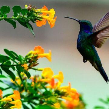 Los colibríes tienen la capacidad de ver colores que los humanos no pueden distinguir