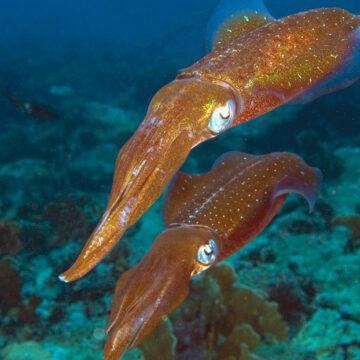 Científicos descubren un secreto inesperado de los calamares