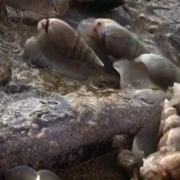 Captan en video cientos de caracoles devorando una medusa gigante en la playa