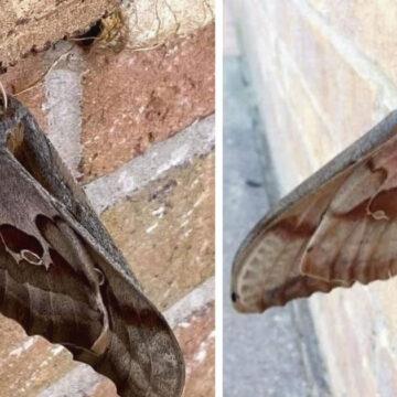 """Aparecen """"tarántulas con alas"""" te explicamos todo sobre esta rara especie."""