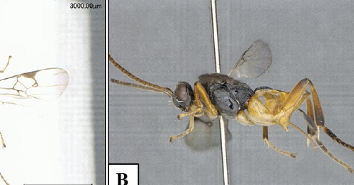 GODZILLA: La nueva especie de avispa descubierta en Japón