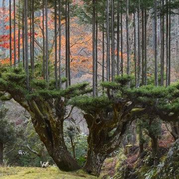 Daisugi: La técnica milenaria para plantar árboles sobre árboles para salvar el planeta