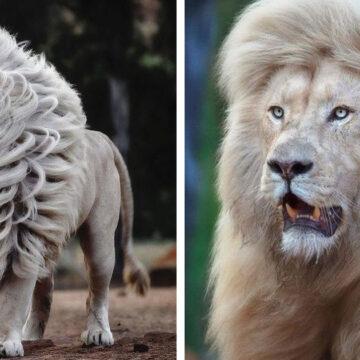 Un fotógrafo captura la belleza del león blanco una belleza que pocos conocen