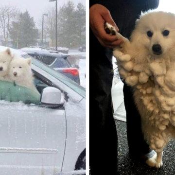 16 Adorables perritos que disfrutan la nieve como ningún otro animal. El husky enamora
