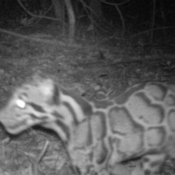 Después de 20 años captan una pantera nebulosa un felino en peligro de extinción.