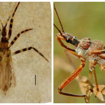 Encuentran fósil de insecto asesino de hace 50 millones de años y con los genitales intactos