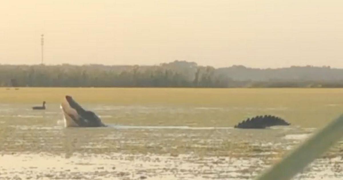 Captan el momento en el que un cocodrilo enorme se manifiesta para cazar un ave