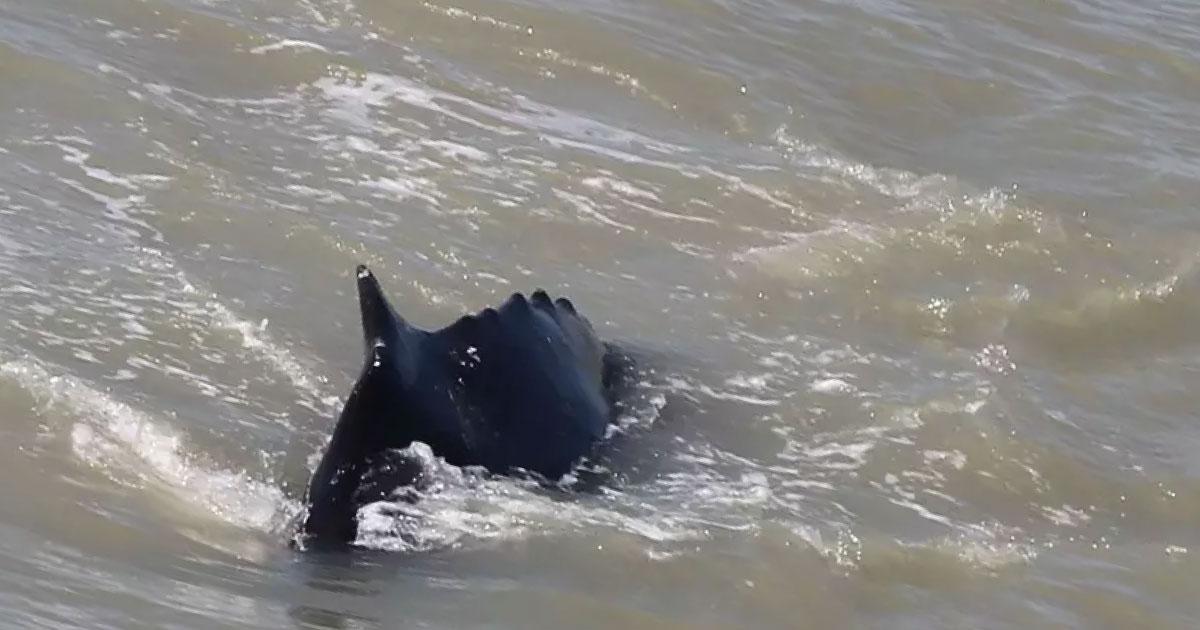 3 ballenas se equivocan y acaban en un río repleto de cocodrilos