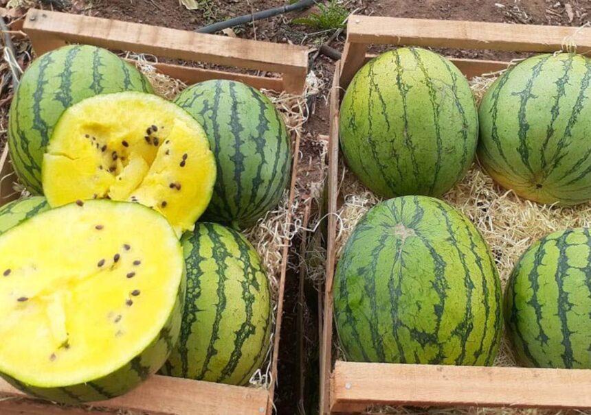 Novedad gastronómica en Jujuy: Sandía amarilla y sus propiedades