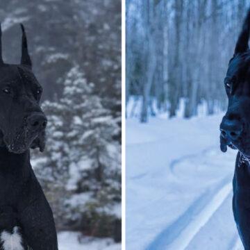 Enzo, el perro que parece de una película de Batman y su tamaño impresiona