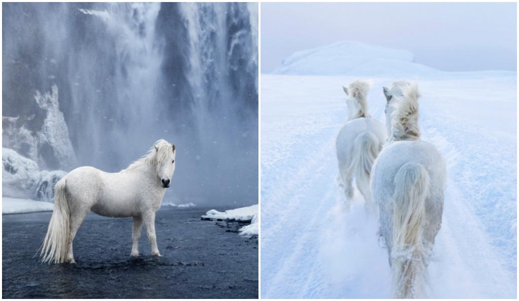 Fotos épicas. El grandioso trabajo con caballos salvajes Islandeses.