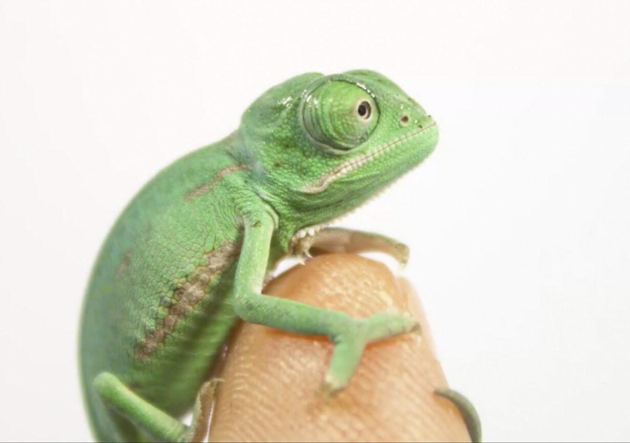 """Conoce al """"nanocamaleón"""", el reptil más pequeño del mundo descubierto en Madagascar"""