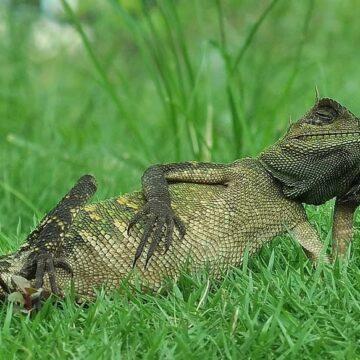 Captan un lagarto tomando el sol de la manera más genial