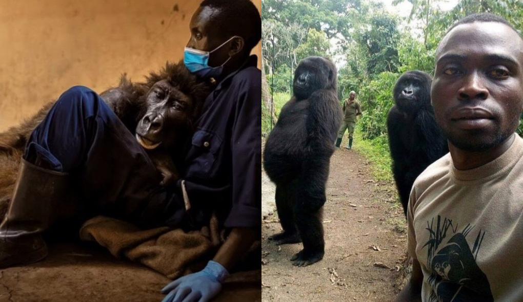 Gorila Muere en Brazos de su Cuidador